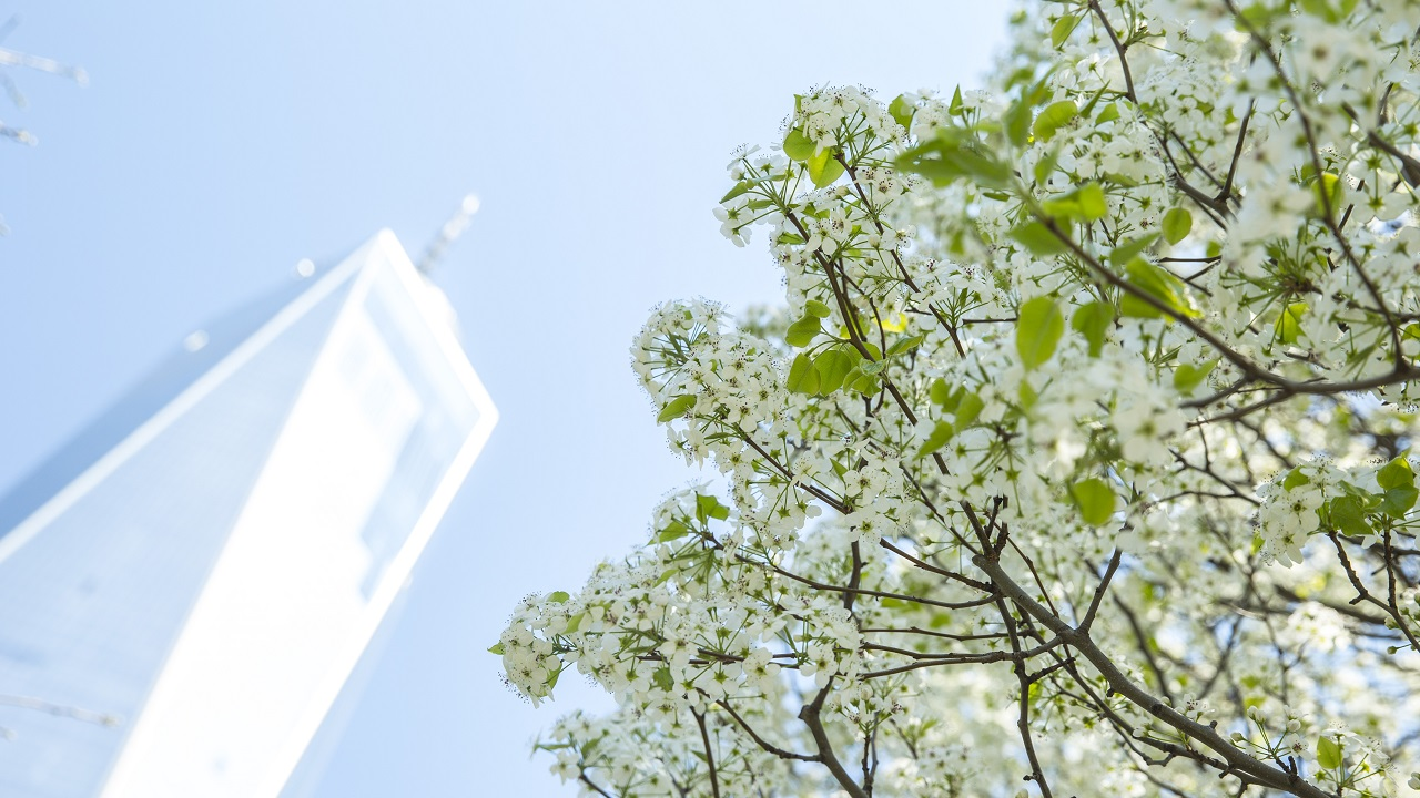 A view looking up towards a sunny sky shows One World Trade Center towering over the branches of blooming Callery pear trees with white flowers.