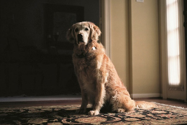 A golden retriever with a white muzzle sits on a patterned rug in front of a window and looks into the camera.