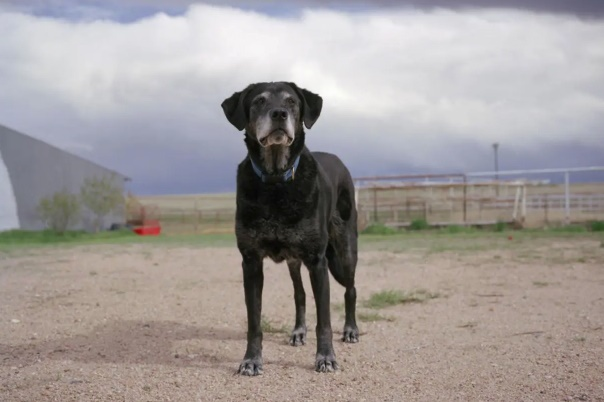 A black dog with a white muzzle stands on a barren and overcast landscape and looks into the camera.