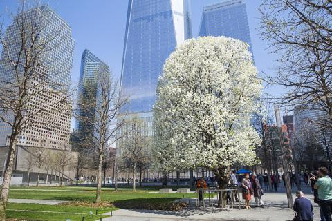 White flowers bloom on the Survivor Tree during a sunny spring day. A number of people stand around the tree on Memorial plaza, some of them taking photographs of it.