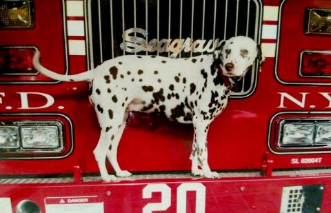 An FDNY dalmatian named Twenty poses while standing on the front of the Ladder 20 firetruck.