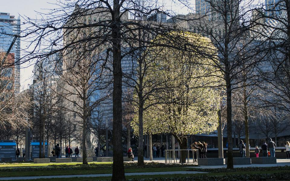 The Survivor Tree, full of white flowers in full spring bloom, is seen across the Memorial plaza.