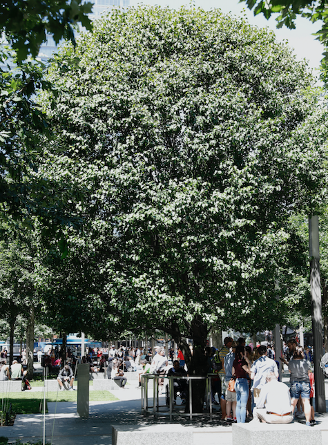 A group of people stand under the green leaves of the Survivor Tree on a sunny day.